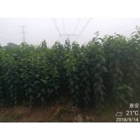 杜仲苗供应 株高1米 量大从优 杜仲苗哪里有