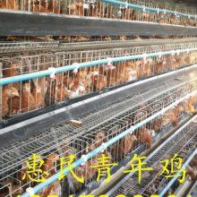 鹤壁市惠民青年鸡养殖中心新杨褐壳蛋鸡配套系12000只新阳褐优惠促销