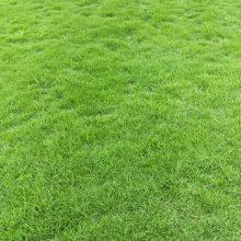大量出售台湾二号草皮批发基地 台湾二号草坪工程苗价格
