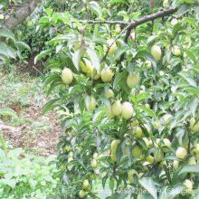 新品种李子苗 布朗李子苗多少钱一棵 1米李子苗成活率高 布朗李子苗