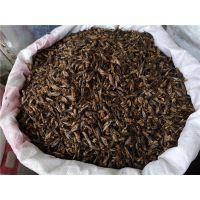 野生蟋蟀的功效 蛐蛐批发价格多少钱一斤