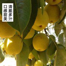 新鲜绥中白梨当季水果远销国内外多汁甜脆