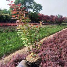 西安红叶小檗、甘肃红叶小檗工程绿篱绿化苗木批发
