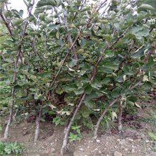 批发山楂树苗 占地山楂树 山楂树每亩种多少棵 惠农山楂苗基地