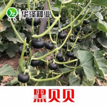 供应黑贝贝南瓜种子高产口感好—黑贝贝