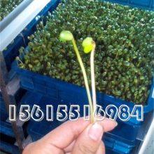 大型自动芽苗菜机生产厂家?商用全自动芽苗菜机厂家直销价格?豆制品机械哪家好?