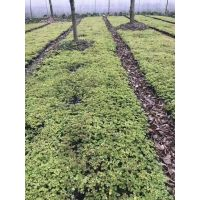 多啦出售杯苗酢浆草基地,批发酢浆草工程苗,成都基地直销紫叶绿叶都有