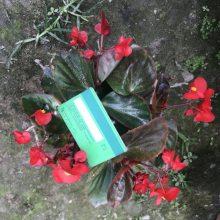 大量出售四季海棠工程苗 绿叶红叶四季海棠小杯苗价格