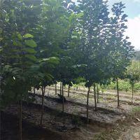 供应玉兰树 4公分-10公分规格树形优美 价格优惠 白玉兰树基地