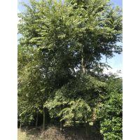 成都基地大量批发朴树工程苗,3-5丛生的价格是多少呢?