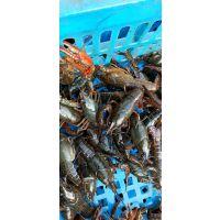 小龙虾 种虾 青虾苗