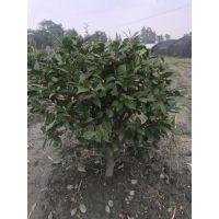 茶花笼子批发基地 茶花价格美丽 成都茶花出售