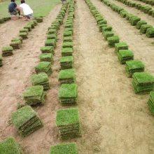 赣州马尼拉草皮 贵州绿化工程常用草皮批发价格