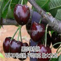 壹棵树农业俄罗斯8号车厘子苗供应