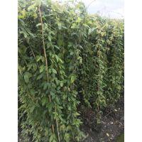 贵阳大量油麻藤种植基地,油麻藤批发工程苗,低价处理常绿油麻藤