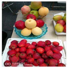 优质黑苹果树苗 瑞阳 5公分 鸡心果海棠苗