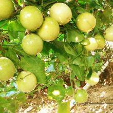 哪有黄金百香果苗基地__10cm黄金百香果苗出圃价格