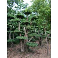 河南造型树,对节白蜡