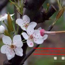 厂家直销授粉用苹果花粉,活性苹果花粉
