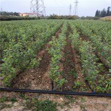 0.8以上的吉塞拉6号砧木价格 当年可以嫁接的樱桃砧木苗哪里有