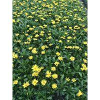 贵州木春菊种植农户出售,13杯的工程苗价格是0.5元每杯