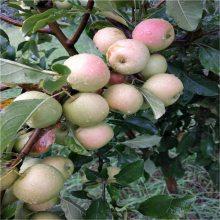1米苹果苗哪家好 山东苹果苗 苹果苗批发 清地处理鲁丽苹果苗 维纳斯黄金苹果苗基地