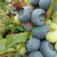 薄雾蓝莓苗 南高丛蓝莓苗 优质蓝莓苗