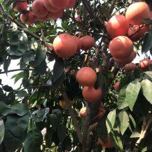 正宗(红宝石)葡萄柚苗价格__台湾红宝石葡萄柚苗基地