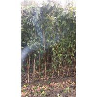 油麻藤高度1-2米价格的多少?油麻藤种植基地批发工程苗哦