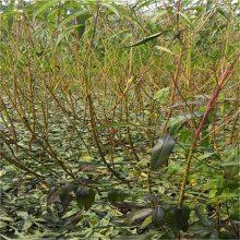 一年嫁接桃树苗的价格_1米高桃树苗种植 桃树苗移栽注意事项