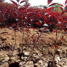 陕西紫叶矮樱 丛生多分枝营养杯紫叶矮樱 绿篱庭院绿化景观树苗