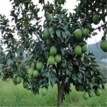 广安红中红柚子苗到哪里买放心兴红盛苗木中心