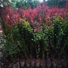西安红叶小檗批发 红叶小檗大田落叶灌木 甘肃紫叶小檗