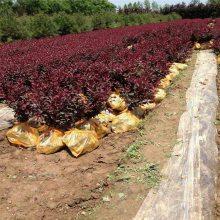 陕西紫叶矮樱 周至营养杯紫叶矮樱 杨凌紫叶矮樱批发