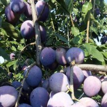 布朗李子苗品种纯正 西梅李子苗结果时间 2年李子苗哪里有卖 西梅李子苗