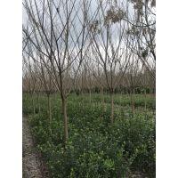 供应樱花工程苗 成都基地直销 樱花10公分价格 樱花批发基地