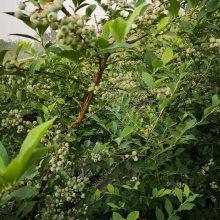 山东大型蓝莓苗基地在哪 奥尼尔蓝莓苗多少钱
