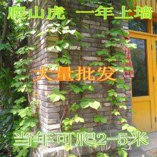 周至爬藤植物 爬墙虎 美国凌霄花 紫藤 庭院 围墙护坡苗木