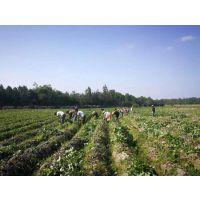 白杨农业优质西瓜红红薯