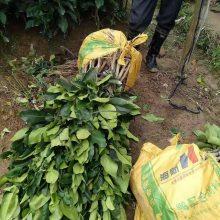 三红蜜柚苗江苏地区可以种植吗 三红柚几年可以结果 江苏三红蜜柚苗