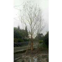 成都基地出售丛生朴树,规格齐全 质量好,也可以现场直接拼载