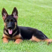 雪纳瑞吉娃娃小型幼犬成犬粮饲料生产线