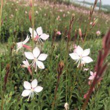 大量批发出售高度30厘米的山桃草工程苗,以及红叶的基地