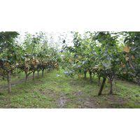 成都各规格一公分两公分三公分四公分到三十公分梨树大量出售
