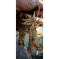 种虾 小龙虾 龙虾苗