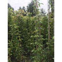贵州望谟油麻藤种植基地批发价格的多?常绿油麻藤基地