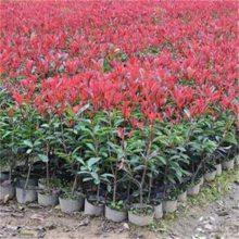 老采购告诉您江苏沭阳这里一二年生红叶石楠小苗都很便宜