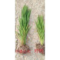 昆仑风小麦增产套餐喷三次 穗长穗大籽粒饱满