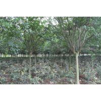 6-8公分紫薇发货陕西西安 大量供应绿化工程用苗 专业行道树