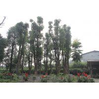 丛生香樟价格 丛生香樟大量出售 丛生香樟批发基地 哪里丛生香